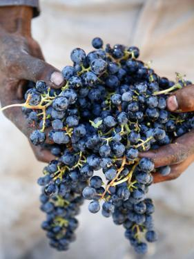 Harvest Worker Holding Malbec Wine Grapes, Mendoza, Argentina, South America by Yadid Levy
