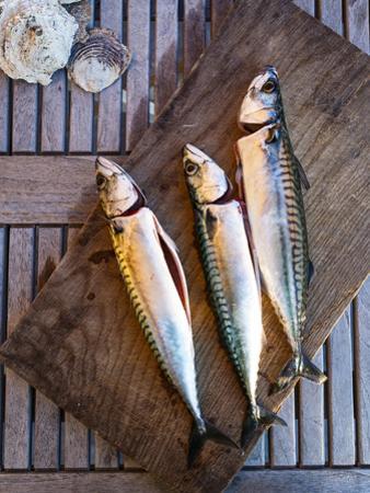 Mackerel Fish, Grebbestad, Bohuslan Region, West Coast, Sweden, Scandinavia, Europe by Yadid Levy