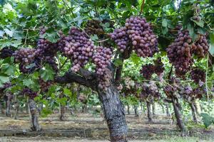 Red Globe Grapes at a Vineyard, San Joaquin Valley, California, Usa by Yadid Levy