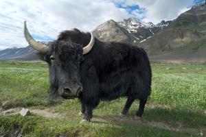 Yak (Dzo=Yak/Cattle Cross) in Himalayan Snowcapped Mountain Landscape Abring, Stod Valley,…