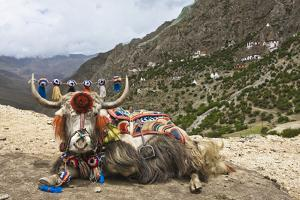 Yak in Drak Yerpa, Tibet, China, Asia by Thomas L