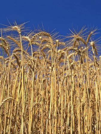 https://imgc.allpostersimages.com/img/posters/yamhill-county-close-up-of-tall-wheat-stalks-oregon-usa_u-L-PN6TZ30.jpg?p=0