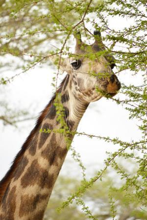 Giraffe in Africa by Yara Gomez-Sugg
