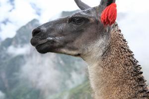Close up of Llama at the Ruin of Machu Picchu. by Yaro