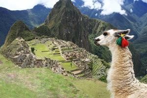 Llama at Historic Lost City of Machu Picchu - Peru by Yaro