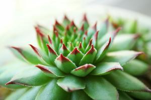 Beautiful Succulent Plant close Up by Yastremska
