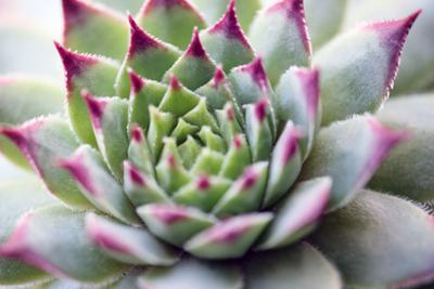 Beautiful Succulent Plant close Up by Yastremska