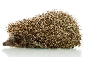 Hedgehog, Isolated on White by Yastremska