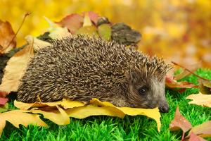 Hedgehog on Autumn Leaves in Forest by Yastremska