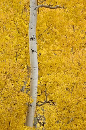 https://imgc.allpostersimages.com/img/posters/yellow-aspen-in-the-fall-uncompahgre-national-forest-colorado-usa_u-L-PWFFHV0.jpg?artPerspective=n
