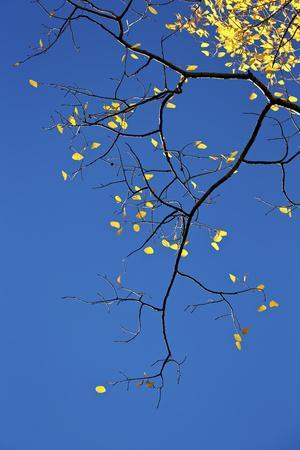 https://imgc.allpostersimages.com/img/posters/yellow-aspen-leaves-against-a-blue-sky-in-the-fall-grand-mesa-national-forest-colorado-usa_u-L-PWFJJR0.jpg?p=0