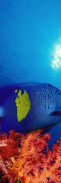 Yellow-Banded Angelfish with Soft Corals in the Ocean