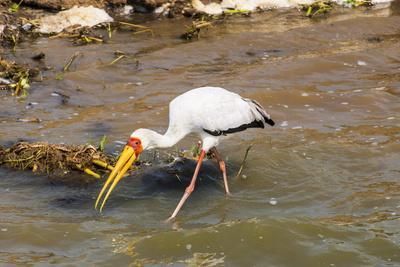 https://imgc.allpostersimages.com/img/posters/yellow-billed-stork-mycteria-ibis-queen-elizabeth-national-park-uganda-east-africa-africa_u-L-PQ8SAB0.jpg?p=0
