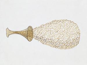Yellow-Fuzz Cone Slime (Hemitrichia Clavata), Illustration