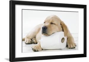 Yellow Labrador Puppy Asleep on Toilet Roll  9 Weeks