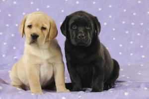 Yellow Labrador Puppy Sitting Next to a Black