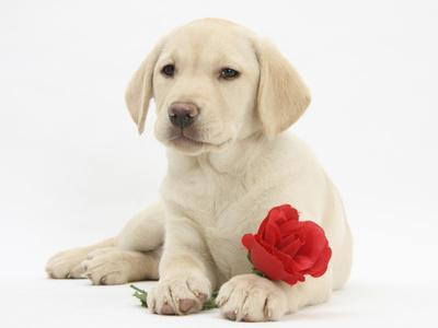 https://imgc.allpostersimages.com/img/posters/yellow-labrador-retriever-bitch-puppy-10-weeks-lying-with-a-red-rose_u-L-Q10O4NC0.jpg?p=0