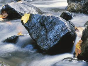 Yellow Maple Leaf on Rock in Rapids