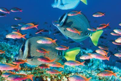Yellow-Tailed Sturgeonfish