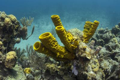 https://imgc.allpostersimages.com/img/posters/yellow-tube-sponge-lighthouse-reef-atoll-belize-barrier-reef-belize_u-L-Q12T1Z50.jpg?artPerspective=n