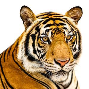 The Tiger by YongyutP