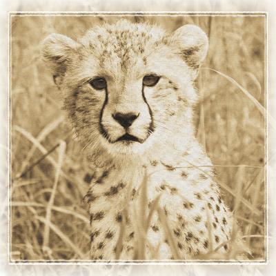 https://imgc.allpostersimages.com/img/posters/young-africa-cheetah_u-L-Q10PRTO0.jpg?p=0
