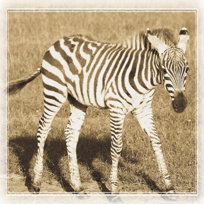 https://imgc.allpostersimages.com/img/posters/young-africa-zebra_u-L-Q10PQE30.jpg?p=0
