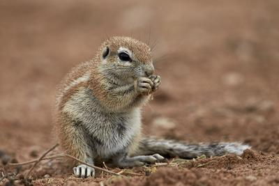 https://imgc.allpostersimages.com/img/posters/young-cape-ground-squirrel-xerus-inauris-eating_u-L-PWFG470.jpg?p=0