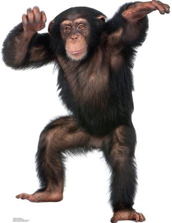 Young Chimpanzee Lifesize Standup