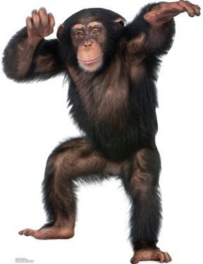 Young Chimpanzee Lifesize Standup