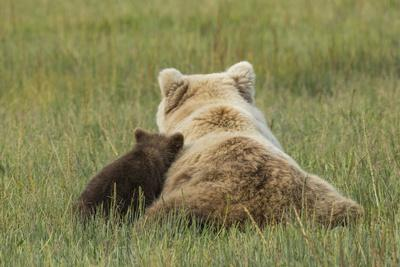 https://imgc.allpostersimages.com/img/posters/young-coastal-grizzly-cub-leans-against-its-mother-lake-clark-national-park-alaska_u-L-Q1CZRWH0.jpg?p=0