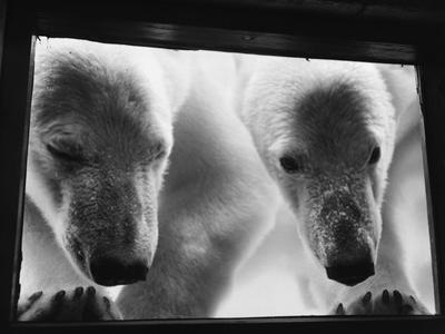 Young Polar Bears at Pool Window