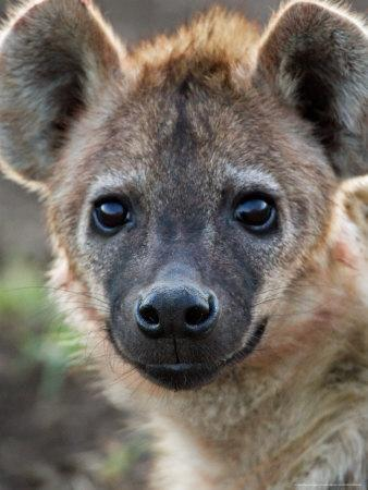 https://imgc.allpostersimages.com/img/posters/young-spotted-hyena-tanzania_u-L-P589N80.jpg?p=0