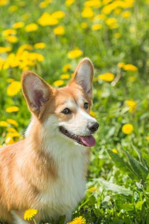 Young Welsh Corgi Sitting in the Grass by Zayne C