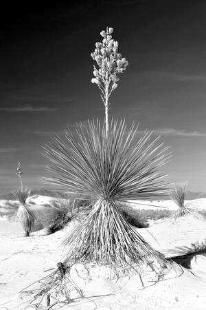 https://imgc.allpostersimages.com/img/posters/yucca-at-white-sands-i_u-L-Q11UICB0.jpg?p=0