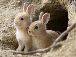 Feral Domestic Rabbit (Oryctolagus Cuniculus) Babies At Burrow by Yukihiro Fukuda