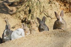 Feral Domestic Rabbit (Oryctolagus Cuniculus) Babies Resting Near Burrow by Yukihiro Fukuda
