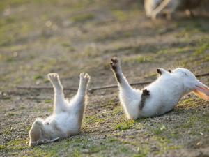 Feral Domestic Rabbit (Oryctolagus Cuniculus) Baby Rabbits by Yukihiro Fukuda