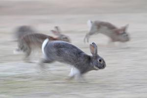 Feral Domestic Rabbit (Oryctolagus Cuniculus) Group Running From Bird Of Prey by Yukihiro Fukuda