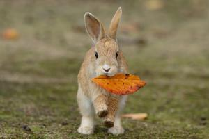 Feral Domestic Rabbit (Oryctolagus Cuniculus) Juvenile Running With Dead Leaf In Mouth by Yukihiro Fukuda