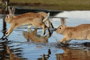 Feral Domestic Rabbit (Oryctolagus Cuniculus) Running in Puddle by Yukihiro Fukuda