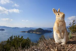 Feral Domestic Rabbit (Oryctolagus Cuniculus) Standing On Hind Legs On Coast by Yukihiro Fukuda