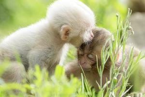 Japanese Macaque (Macaca Fuscata Fuscata) Rare White Furred Baby Playing with Another Baby by Yukihiro Fukuda
