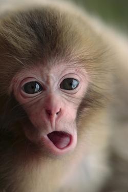 Japanese Macaque (Macaca Fuscata) One Month Old, Jigokudani, Joshinetsu Kogen Np, Nagano, Japan by Yukihiro Fukuda