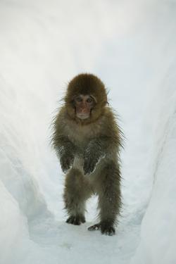 Japanese Macaque - Snow Monkey (Macaca Fuscata) 8-Month-Old Monkey Walking Through Thick Snow by Yukihiro Fukuda