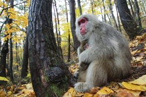 Japanese Macaque - Snow Monkey (Macaca Fuscata) Female with Young in Autumn Woodland by Yukihiro Fukuda