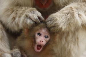 Japanese Macaque - Snow Monkey (Macaca Fuscata) Mother Grooming Four-Day-Old Newborn Baby by Yukihiro Fukuda