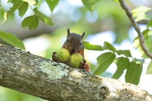 Japanese Squirrel (Sciurus Lis) Carrying Two Walnut (Juglans Ailantifolia) by Yukihiro Fukuda