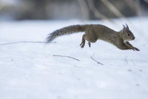 Japanese Squirrel (Sciurus Lis) Running After An Female In Oestrus In The Snow by Yukihiro Fukuda