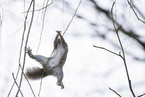 Japanese Squirrel (Sciurus Lis) Trying To Climb Up A Thin Branch After An Female In Oestrus by Yukihiro Fukuda